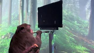 史无前例!马斯克公布脑机接口视频:猴子能用意念打游戏