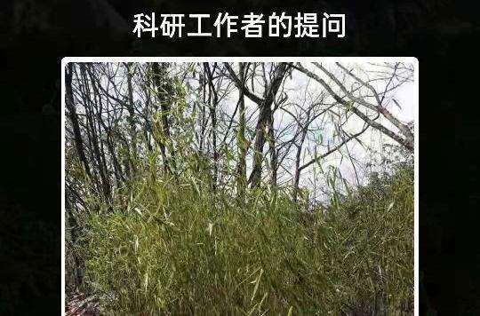 大熊猫最爱吃毛竹还是青川箭竹